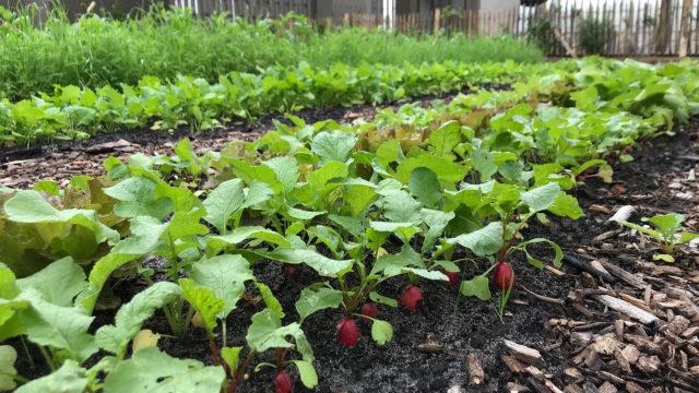Première récolte de radis au potager de l'Escale gourmande à Bordeaux Lac