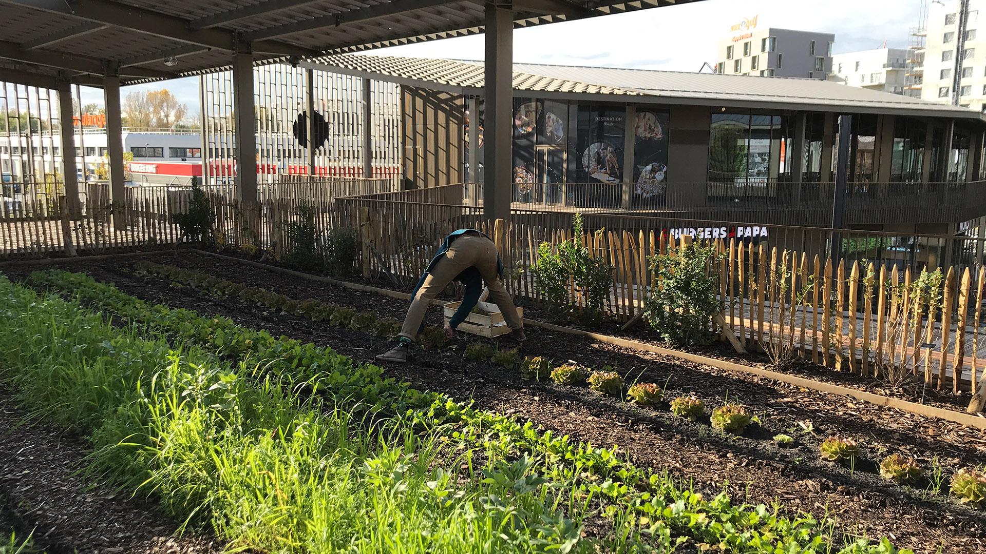 Récolte des salades au potager de l'Escale gourmande