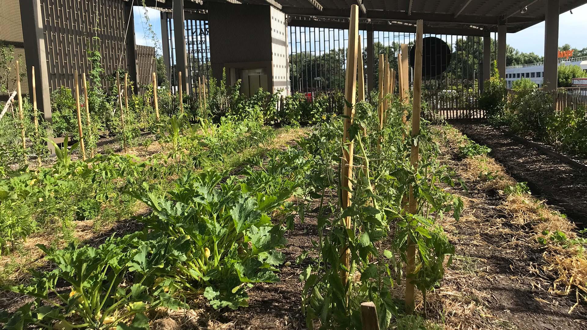 Premières récoltes de courgettes !
