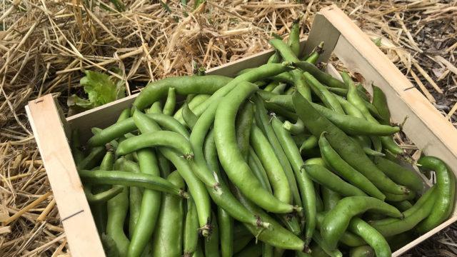 Récolte de printemps au potager de l'Escale gourmande