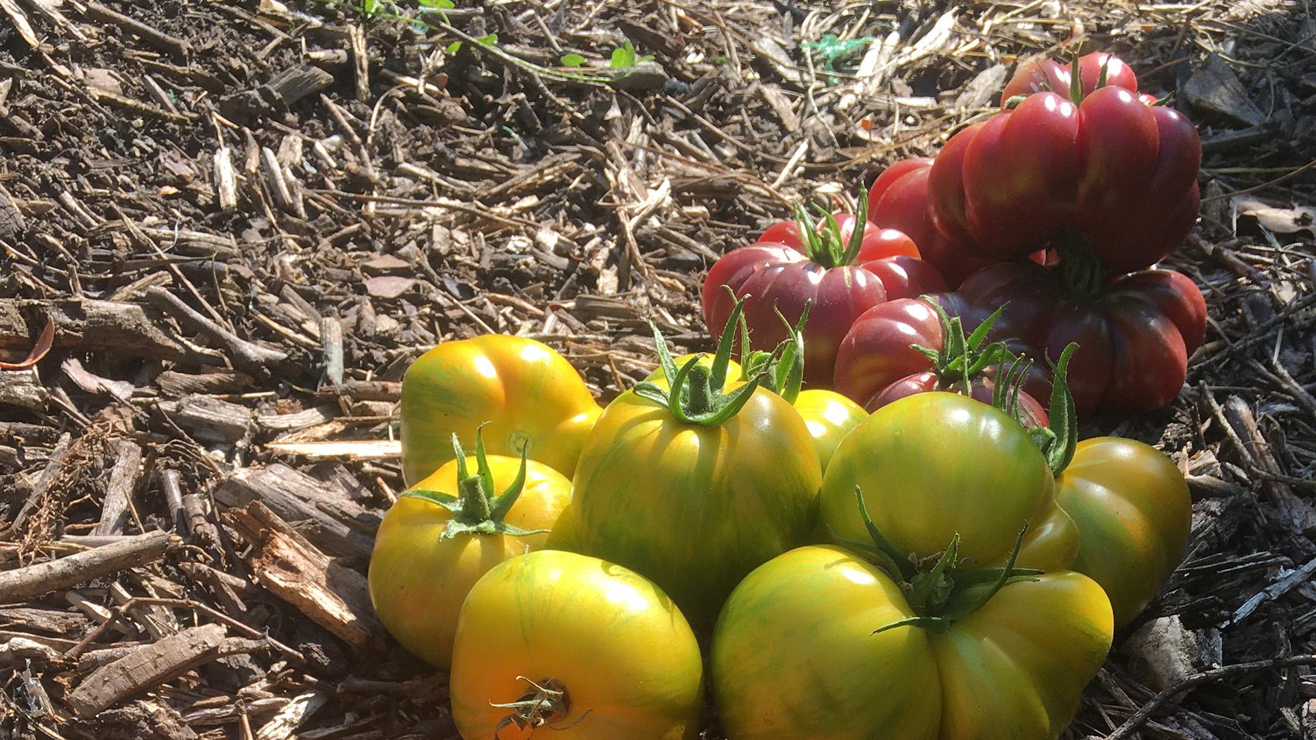 Des tomates à profusion au Château de La Dauphine !
