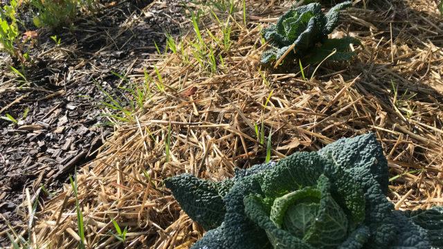 Récolte des navets au potager de l'Escale gourmande
